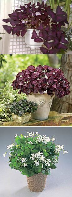 Цветок оксалис. Правильный уход и посадка Flowers, Gardening, Baking, Paisajes, I Love, Hobbies, Patisserie, Floral, Backen