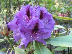 rhododendron blue pacific - Google Search
