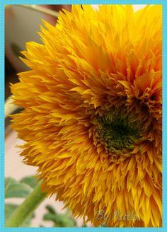 Ayçekirdeği 💙 tohumunu çok zor bulduğum ve kaybetmemeye çalıştığım top gibi bir ayçekirdeği çiçeği 😉💙 #çiçek #ayçekirdeği #gübebakan #çiğdem #bahçemizden #bahçemiz