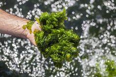 Empresa de Ílhavo produz algas que dão superalimentos, bioplásticos e filtram a água