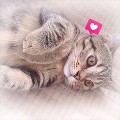 ・ 今日は、ずーっとお家でゴロゴロ🐈✨ ・ 私たちの間でゴロゴロ遊んでみたり、 寝てみたり…🐾 ・ 久しぶりに夫婦揃って まったり出来る休日でした♡ この子がいることで さらに幸せが感じられました♡ ・ #マンチカン#男の子#ブラウンタビー #生後4ヶ月 #ねこ部#猫のいる暮らし #猫#愛猫#cat#可愛い