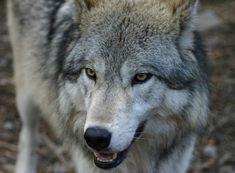 凛々しくて絵になるオオカミの写真いろいろ75枚 | インスピレーション‐美麗画像(写真・イラスト・CG)を毎日紹介