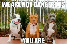 Pit bulls are not dangerous! It's the owner, not the dog.