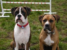 Boxer with a boxer bulldog mix