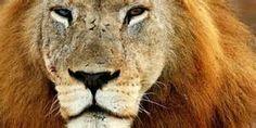 Big Cat Safari - Bing Images