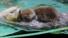 【ヤバイ!キュン死する】萌え〜♪超かわいい♪ラッコの赤ちゃん(Sea otter/해달/loutre de mer/nutria/قضاعة ا...