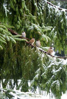 Sparrows in A Snowy Fir Tree