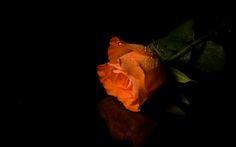 Orange Rose Flower Photograph: http://www.wallpaperspub.net/pre-orange-rose-flower-3433.htm #OrangeRose #OrangeRosewallpapers #OrangeRosephotos