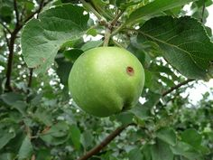 How to Plant Apple Tree Cuttings