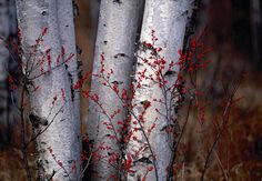 Silver Birches by photographer Peter Lik