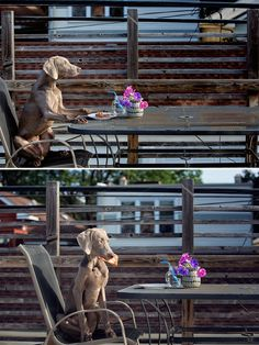 Weimaraner KenLee enjoying his snack on our deck on a nice summer day wwww.wasiophotography.com