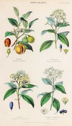 Spice  Plants Nutmeg Cinnamon Clove Allspice or by PaperPopinjay, $20.00