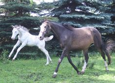 foal-Supernatural, dam-Shew O Gold. Shew O Gold is a brown buckskin Thoroughbred mare that carries the w5 mutation (originated with Puchilingui). Her 2012 foal here, Supernatural, has w5, but he also has a newly discovered KIT gene that researchers have dubbed w20. Shew O Gold does not have w20, however, her dam--Shew, does carry it, along with w5.