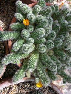 Succulent Arrangements, Cacti And Succulents, Planting Succulents, Small Cactus, Cactus Flower, Succulent Images, Cactus Plante, Florida Plants, Plants Are Friends