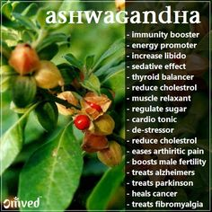 ASHWAGANDHA - Withania somnifera, also known as Indian ginseng, poison gooseberry, or winter cherry, is a medicinal herb in Ayurveda with innumerable benefits. read more at blog.omved.com What Causes High Cholesterol, Cholesterol Lowering Foods, Cholesterol Symptoms, Cholesterol Levels, Health Benefits, Health Tips, Health And Wellness, Mental Health, Natural Medicine
