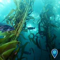 #EarthIsBlue - Twitter Search Kelp Forest, Underwater, Coastal, Ocean, Search, Twitter, Pictures, Inspiration, Image