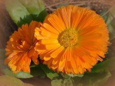 These beautiful orange flowers were just blooming in January in Savannah.