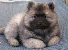 Cute Keeshond puppy! love my doggies :)