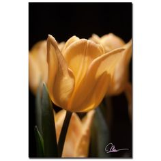 "Trademark Fine Art Martha Guerra 'Tulip Blooms Vii' 16"" x 24"" Canvas Art"