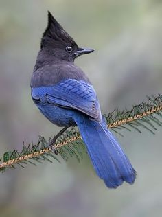 Steller's Jay, they are all over California National Parks, Sequioa, Yosemite, Shasta,  Love these birds watch out if you dare to  have any Blueberry Muffins.  lol