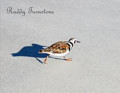 """""""Ruddy Turnstone"""" Sandpiper Family....gorgeous little shoreline bird. I found many of these little beauties on the beach in Florida, couldn't help myself, took many photograph of them, only found on my site in my Gallery here. My Bird Art makes lovely interior wall art for the home or business."""