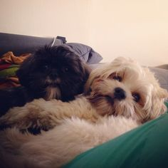 Milo and phoebe the Lhasa apso puppies