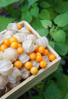 GROWING INCA BERRIES - James Wong's Homegrown Revolution Blog