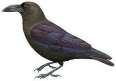 Brown-headed Crow (Corvus fuscicapillus)