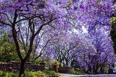 spring in johannesburg - Pesquisa Google