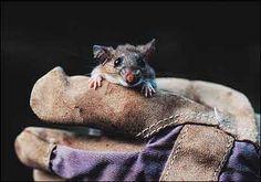 Cotton mouse (Peromyscus gossypinus)
