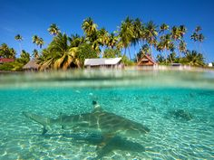 Fakarava, French Polynesia Photograph by Aaron Huey Picture of a blacktip reef shark in shallow water, Fakarava atoll, French Polynesia