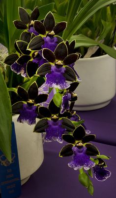 Gorgeous Orchid! Zygopetalum New Era