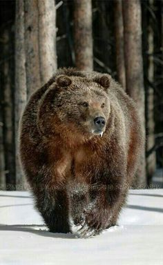 Big and Beautiful Grizzly Bear!