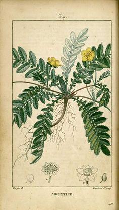 img/dessins-gravures de plantes medicinales/argentine, potentille argentine.jpg