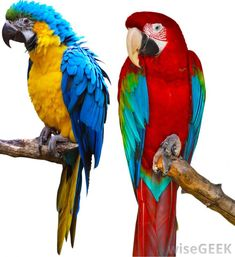 Do Parrots Make Good Pets? (with pictures)