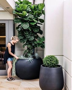 My ideal fiddle leaf dream Wish they grew this big in Melbourne!! (or at least wish mine did ). #harrislandscsping #fiddleleaffig #plantlove #outdoorspace