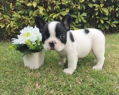French Bulldog Puppy, ❤️ Frenchielover (@themonster_house) • Instagram photos and videos