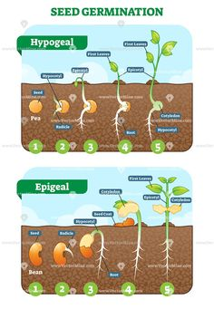 Seed germination cross section stages vector illustration diagram - Modern Biology Lessons, Science Biology, Teaching Biology, Life Science, Science Education, Plant Lessons, La Germination, Seed Germination For Kids, Plant Science