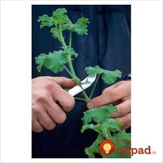 how do you take cuttings from geraniums These plants are one of the most popular summer bedding plants Cut your cost of having these garden beauties by starting your own. Container Gardening Vegetables, Succulents In Containers, Container Flowers, Planting Succulents, Garden Plants, House Plants, Container Plants, Vegetable Gardening, Potted Plants