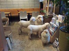 In South Korea, a café where you can sip coffee alongside two lovable sheep