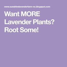 Want MORE Lavender Plants? Root Some!