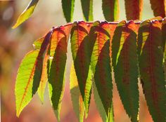 Backlit Sumac leaves at Downsview Park, Toronto | Flickr - Photo Sharing!