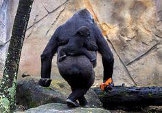 A spasso con mamma  Un cucciolo di gorilla dello zoo di Sydney si aggrappa alla mamma durante una passeggiata mattutina.