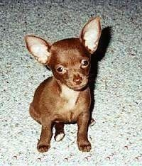 A Brown Chihuahua Puppy Is Sitting On A Carpet And Looking Up At
