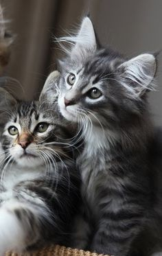 """Gatos de raza """"Bosques de Noruega"""""""