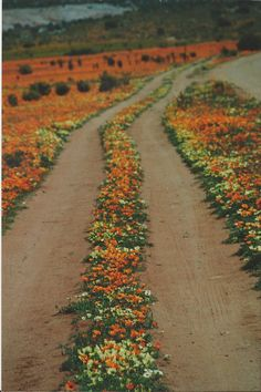 Northern Cape :South Africa. Namaqualand in bloom