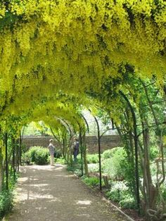 Kew Gardens Laburnum - I think this would look amazing with fruit trees of vines.