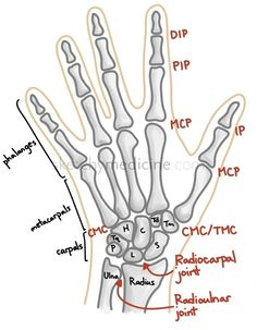 hand anatomy bones and joints Radiology Schools, Radiology Student, Hand Anatomy, Anatomy Bones, Skeleton Anatomy, Physical Therapy Student, Medical Anatomy, Bone And Joint, Occupational Therapist