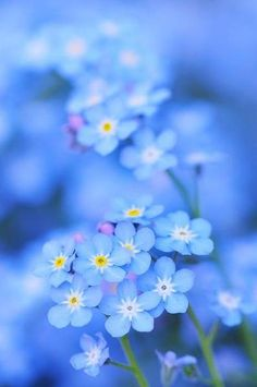 Myosotis - Forget me not Bloom, Deco Floral, Jolie Photo, Flower Wallpaper, Spring Flowers, Mother Nature, Beautiful Flowers, White Flowers, Purple Flowers