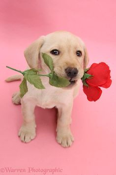 Novelty Gifts, Mans Best Friend, Animal Kingdom, Valentine Gifts, Red Roses, Pop Culture, Labrador Retriever, Cute Animals, Puppies